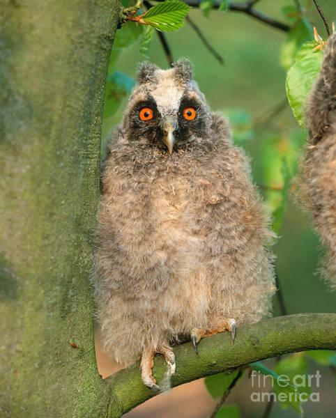 Photograph - Long Eared Owl by Hans Reinhard