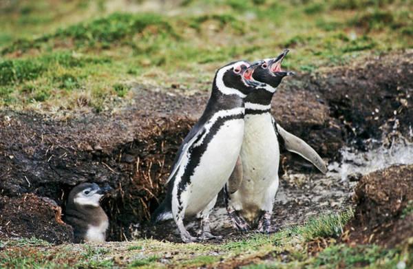 Sweet Bird Photograph - Magellanic Penguin (spheniscus by Martin Zwick