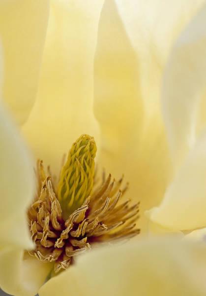 Photograph - Magnolia by Steven Ralser