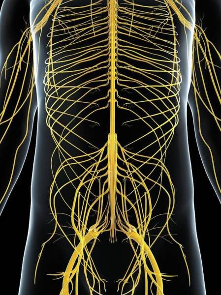 Normal Wall Art - Photograph - Male Nervous System by Sciepro/science Photo Library