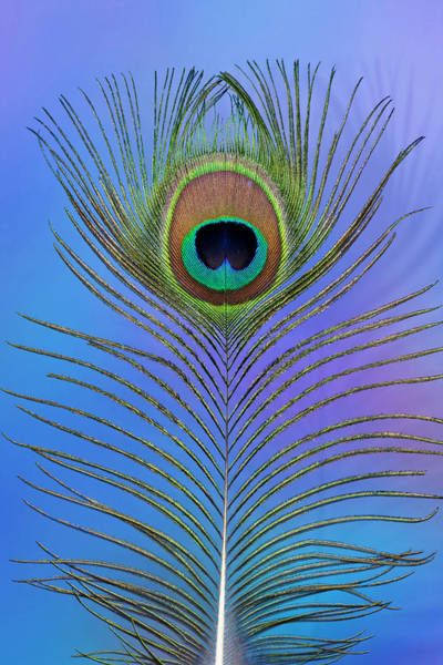 Wall Art - Photograph - Male Peacock Display Tail Feathers by Darrell Gulin