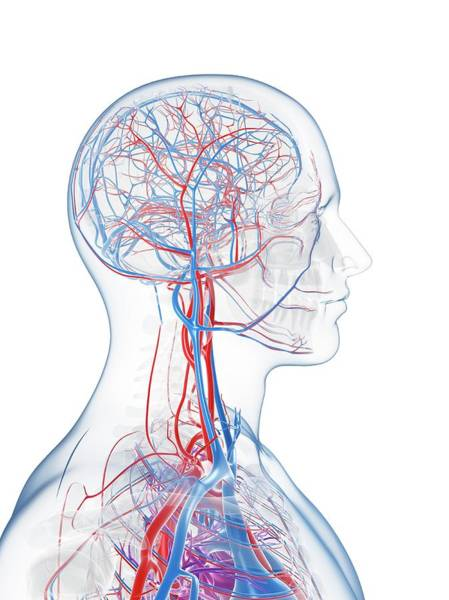Head And Shoulders Photograph - Male Vascular System by Sciepro/science Photo Library