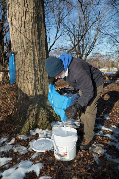 Acer Saccharum Photograph - Maple Syrup Production by Jim West