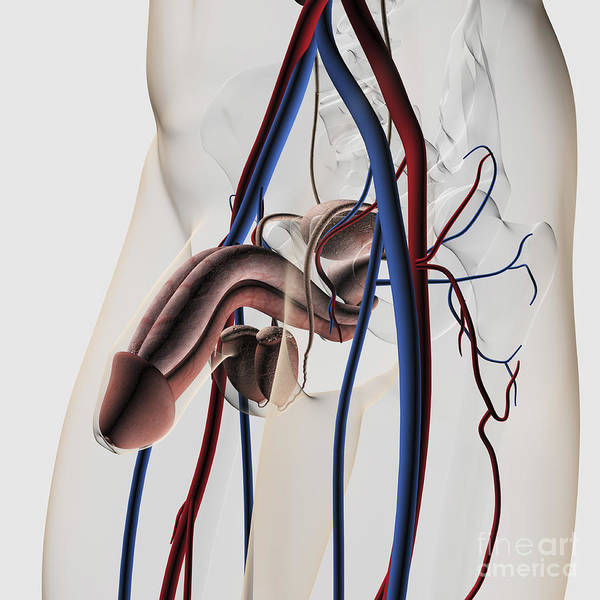 Bladder Digital Art - Medical Illustration Of Male by Stocktrek Images