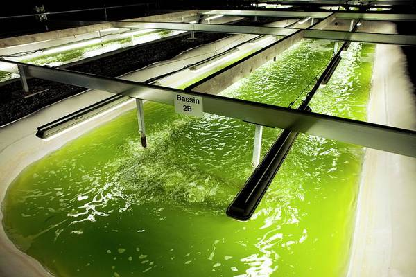 Wall Art - Photograph - Microalgae Production For Biofuels by Pascal Goetgheluck/science Photo Library