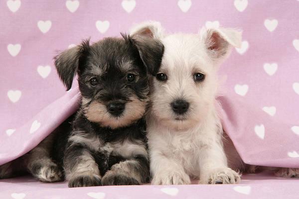 Schnauzer Photograph - Miniature Schnauzer Puppies by John Daniels