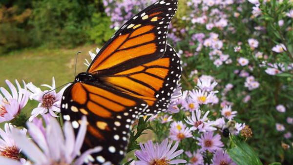 Wall Art - Photograph - Monarch Butterfly by Cheryl King