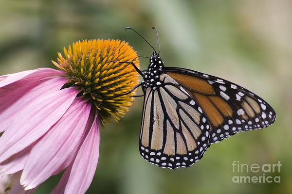 Photograph - Monarch Butterfly by Jill Lang