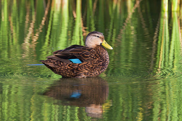 Anas Photograph - Mottled Duck (anas Fulvigula by Larry Ditto