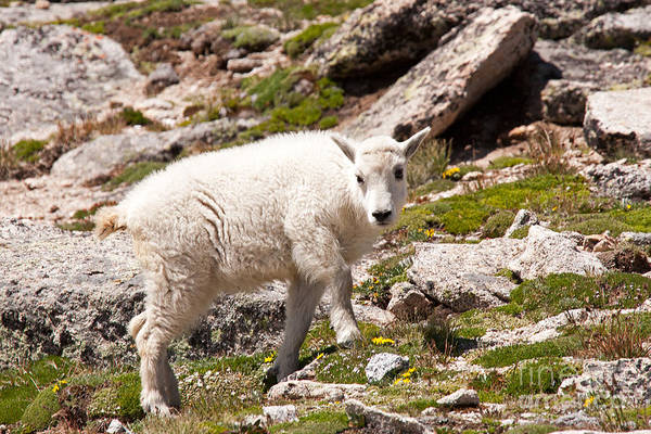 Photograph - Mountain Goat Kid On Mount Evans by Fred Stearns
