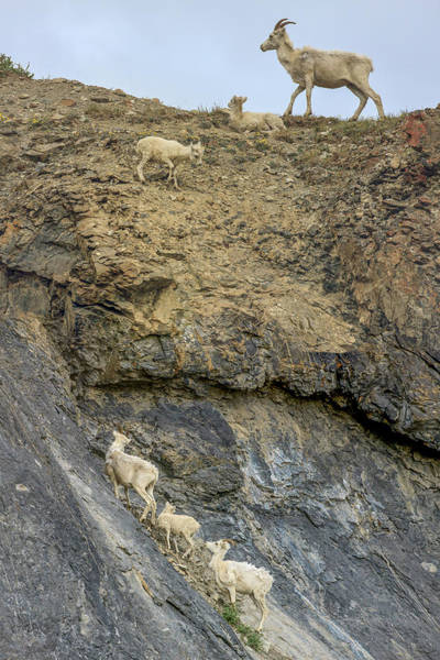 Goats Photograph - Mountain Goats Along Kongakut River by Tom Norring