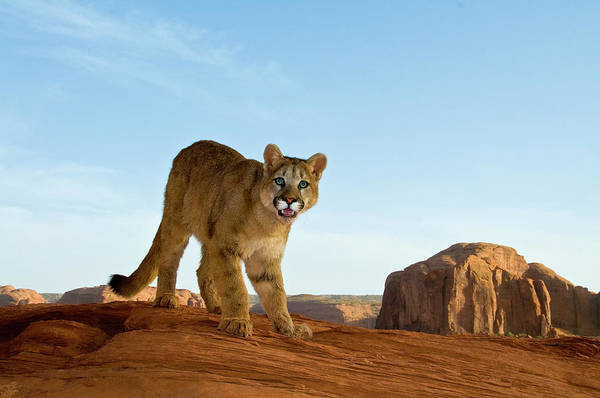 Catamount Photograph - Mountain Lions In The Western Mountains by Dennis Fast