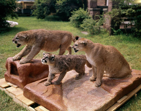 Puma Photograph - 3 Mountain Lions Stuffed Cub Taxidermy by Animal Images