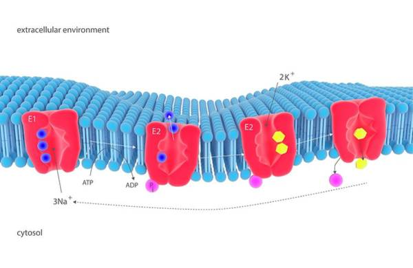 Adenosine Triphosphate Wall Art - Photograph - Na-k Membrane Ion Pump by Science Photo Library