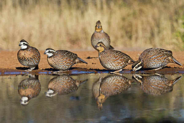 Camouflage Photograph - Northern Bobwhite (colinus Virginianus by Larry Ditto