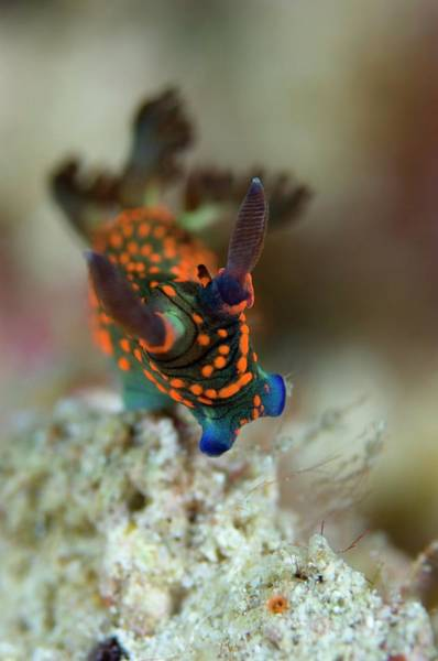 Mabul Photograph - Nudibranch by Scubazoo/science Photo Library