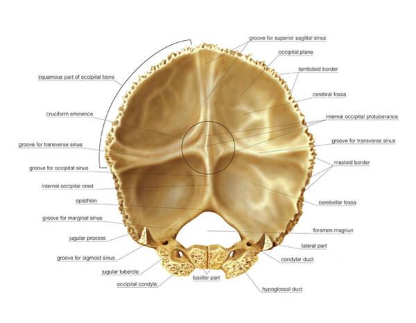 Occipital Bone Photograph - Occipital Bone by Asklepios Medical Atlas
