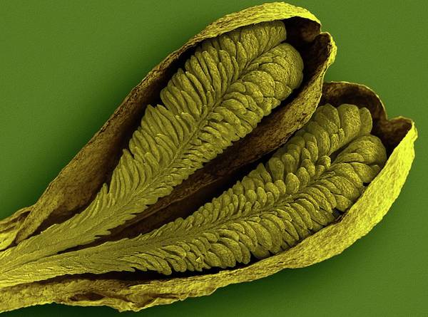 Waxy Photograph - Orchid Pollinia (ludisia Discolor) by Dennis Kunkel Microscopy/science Photo Library