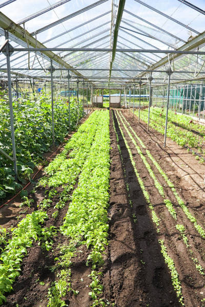 British Food Photograph - Organic Farming by Antonia Reeve/science Photo Library