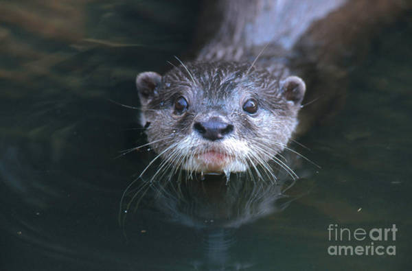 Aonyx Cinerea Photograph - Oriental Small-clawed Otter by Art Wolfe