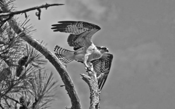 Photograph - Osprey Eagle Wil 486 by G L Sarti