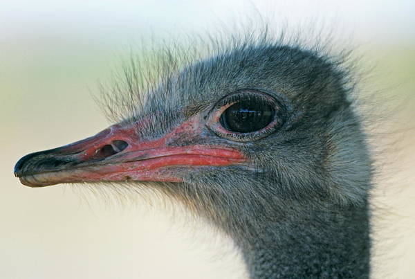 Ostrich Photograph - Ostrich by Philippe Psaila/science Photo Library