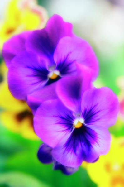Wall Art - Photograph - Pansies (viola X Wittrockiana) by Maria Mosolova/science Photo Library