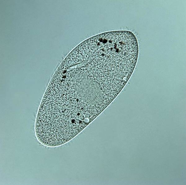 Vacuole Photograph - Paramecium Multimicronucleatum by Dennis Kunkel Microscopy/science Photo Library