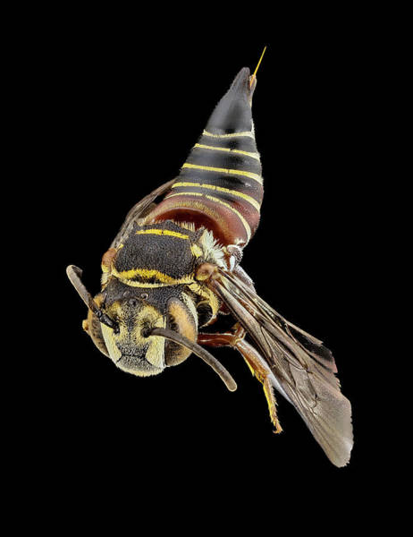 Image Stacking Photograph - Parasitic Bee by Us Geological Survey