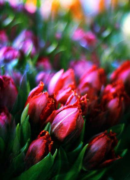 Photograph - Parrot Tulips by Jessica Jenney