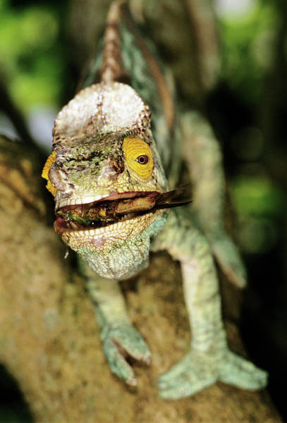 Wall Art - Photograph - Parson's Chameleon Catching Prey by Tony Camacho/science Photo Library