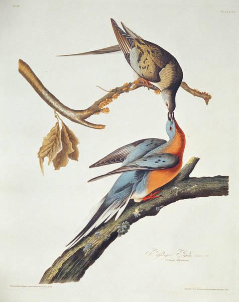 Wall Art - Painting - Passenger Pigeon by John James Audubon