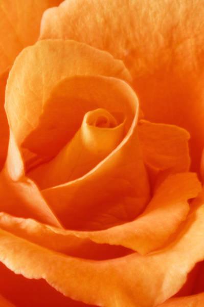 Photograph - Peach Rose by Peter Lakomy