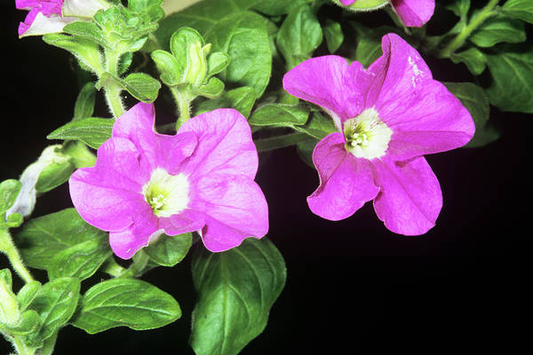 Petunias Photograph - Petunia Surfinia by M F Merlet/science Photo Library