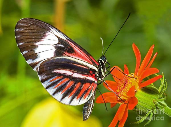 Photograph - Piano Key Butterfly by Millard H Sharp