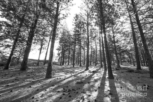 Central Oregon Photograph - Pines In An Oregon Forest by Twenty Two North Photography