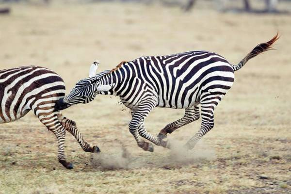 Wall Art - Photograph - Plains Zebras by John Devries/science Photo Library