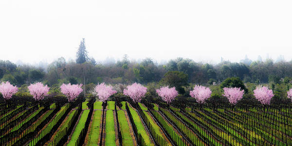 Wall Art - Photograph - Plum Tree Blossoms And Vineyard by Ron Koeberer