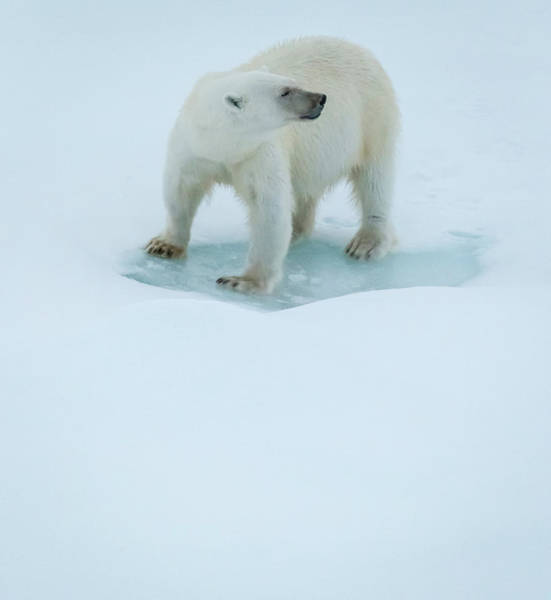 Wall Art - Photograph - Polar Bear Portrait, Greenland by Animal Images