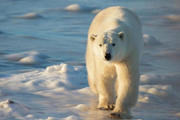 Wall Art - Photograph - Polar Bear (ursus Maritimus by Richard and Susan Day