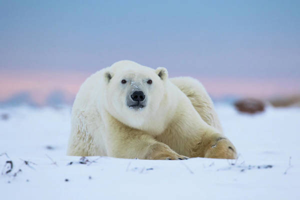 Down The Shore Photograph - Polar Bear  Ursus Maritimus by Robert Postma