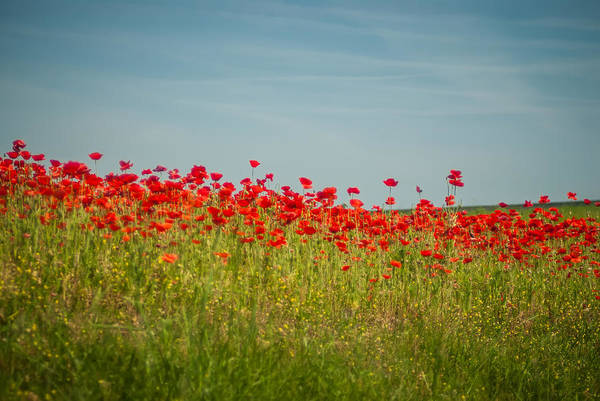 Photograph - Poppy Field   by Alex Grichenko