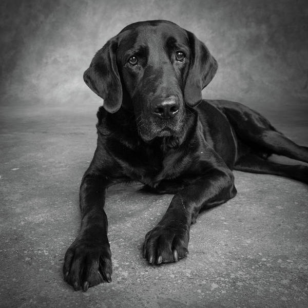 Wall Art - Photograph - Portrait Of A Labrador Great Dane Mixed by Animal Images