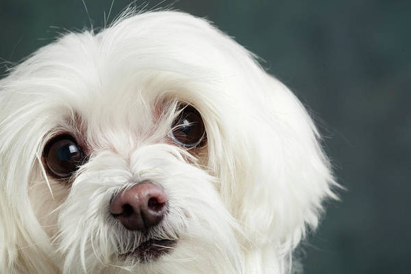 Wall Art - Photograph - Portrait Of A Maltese Dog by Animal Images
