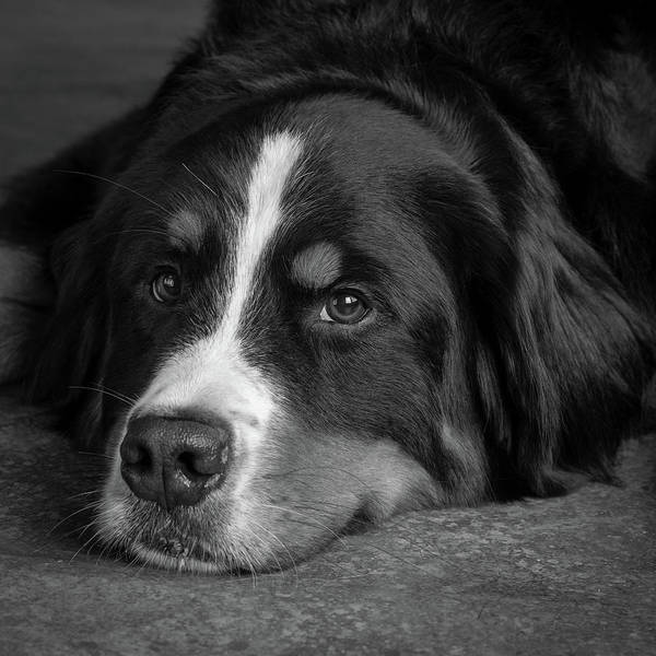 Wall Art - Photograph - Portrait Of Bernese Mountain Dog by Animal Images