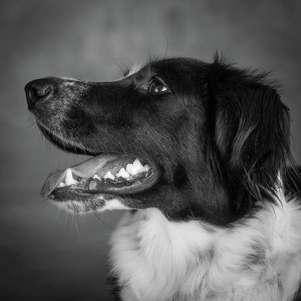 Wall Art - Photograph - Portrait Of Border Collie Mix Dog by Animal Images