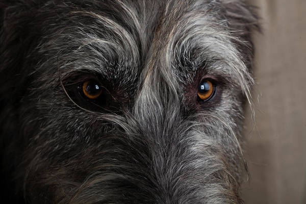 Wall Art - Photograph - Portrait Of Irish Wolf Hound Dog by Animal Images