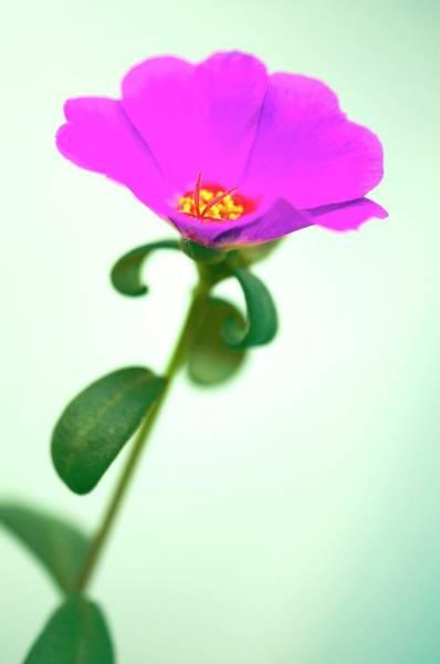 Magenta Photograph - Portulaca Suffrutescens by Maria Mosolova/science Photo Library