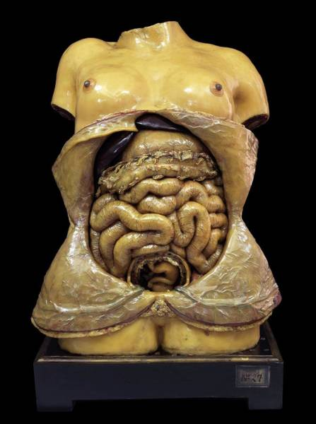Anatomical Model Wall Art - Photograph - Pregnancy Model by Javier Trueba/msf