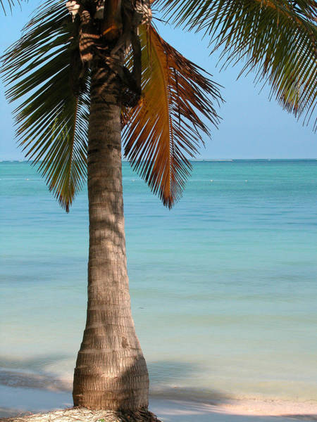 Photograph - Punta Cana Palm Tree by Rob Huntley